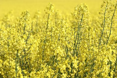 A blooming rapeseed field.