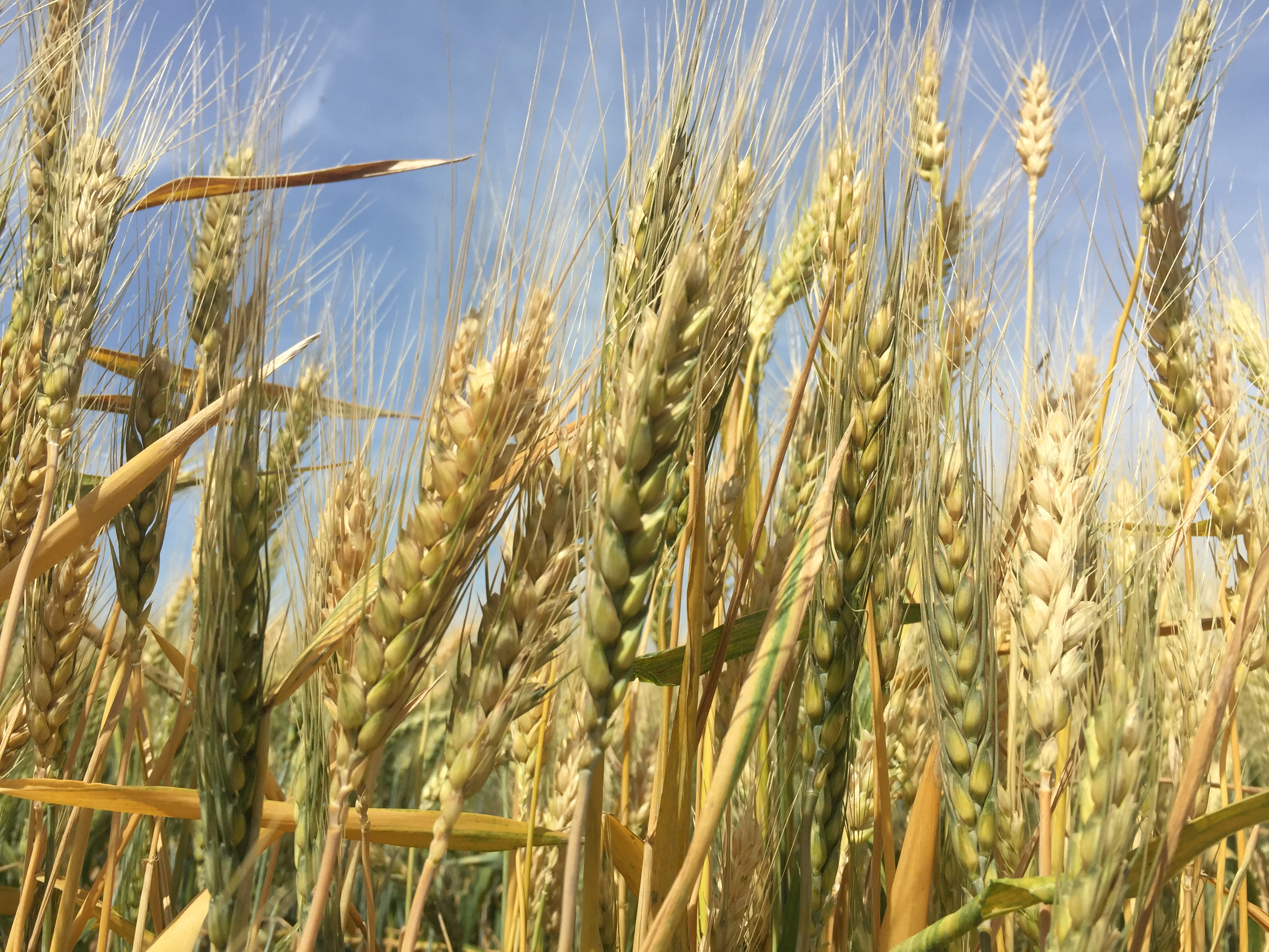 WHEAT AS A GEOPOLITICAL WEAPON FOR RUSSIA